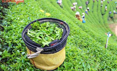 Assam Tea Tourism