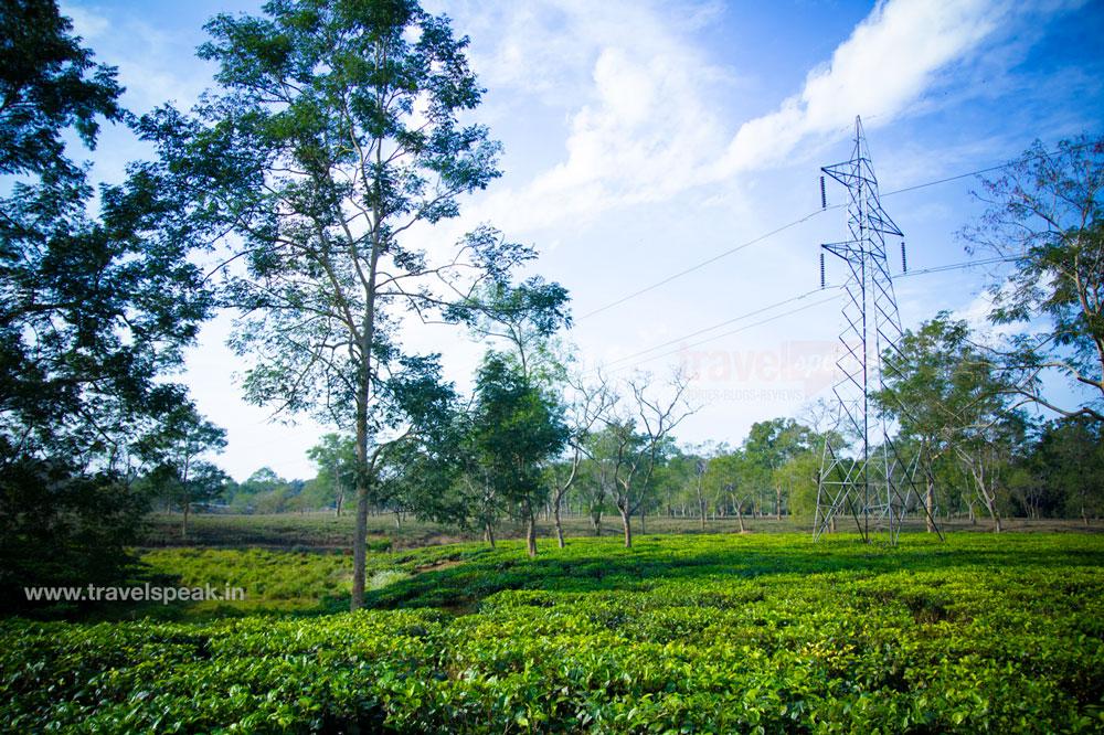 Assam Tea Garden Plantation